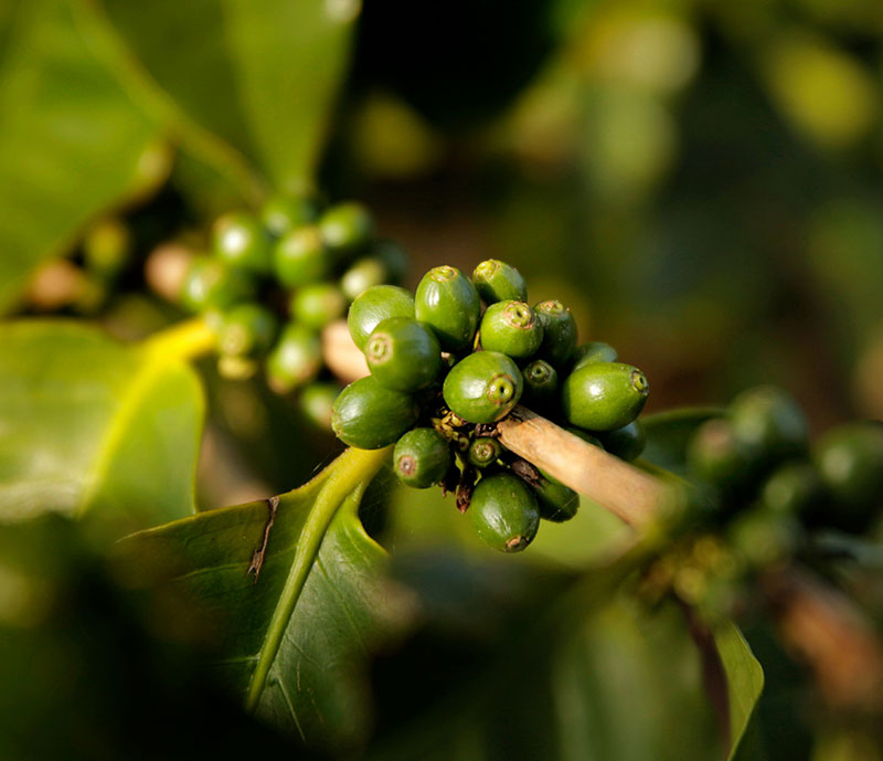 Kauai green coffee beans